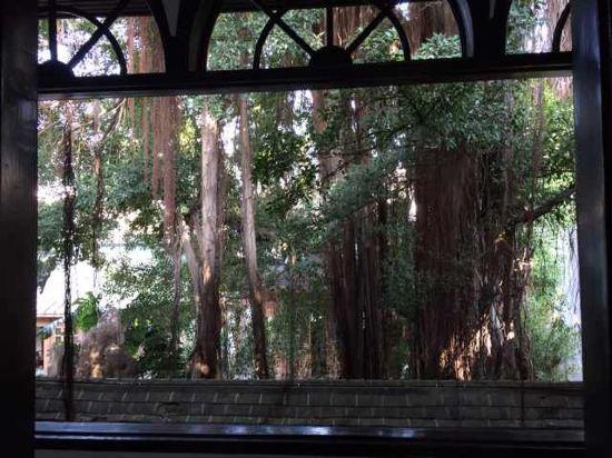 阳台外面大榕树